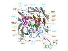 当研究室で創製した高親和力抗エストラジオール-17β抗体フラグメントの分子モデリング