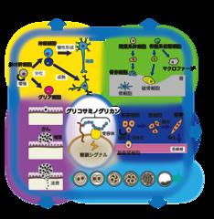 図1 糖鎖シグナルにより制御される生命現象