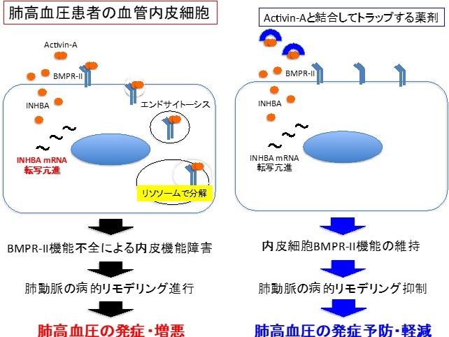 【プレスリリース】肺高血圧症の新しい病態メカニズムの発見(臨床薬学研究室)